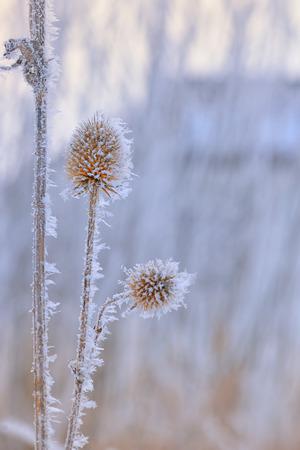 Frozen echinops thistles plant Stock Photo