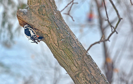 Male great spotted woodpecker (Dendrocopos major) on tree brunch