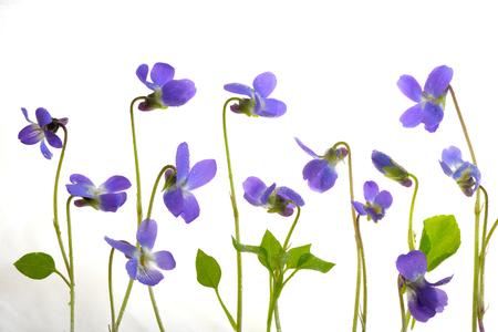 Viola odorata flowers on white background Stock Photo
