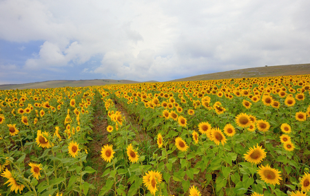 Sunflower in a wheat field and cloudy skies Stock Photo