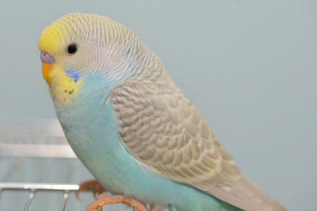 Details of Budgerigar parrot in his cage