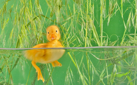 little duck floating in water isolated