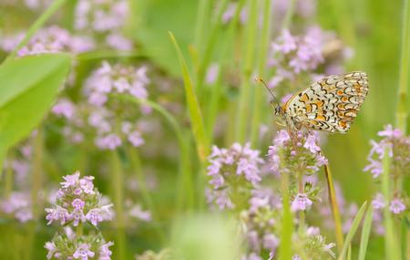 Monarch butterfly feeding on flower Stock Photo