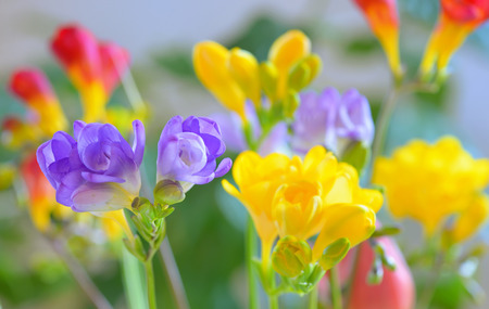 Bouquet of freesias flowers in vase