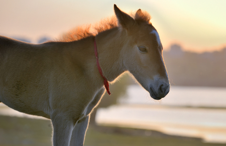 New young foal on field at sunset Stock Photo
