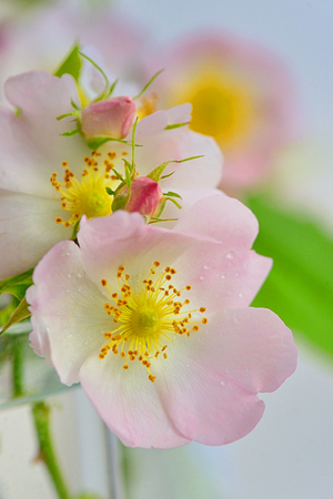 Close-up of a dog rose, Rosa canina in vase