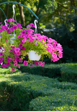Petunia flowers in pots hanging in park Stock Photo