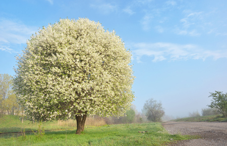 One blooming cherry tree near of the road Stock Photo