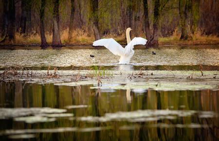 Single swan at sunrise on lake