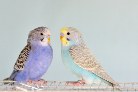 Different Budgerigar parrots on cage