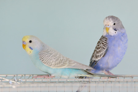 Colorful Budgerigar parrots sitting on cage Stock Photo