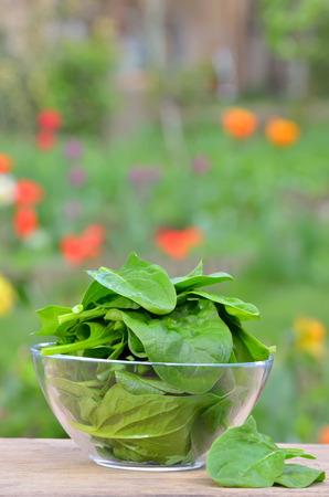 fresh green spinach in garden Stock Photo