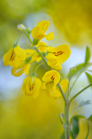 Yellow Golden shower Cassia fistula flower