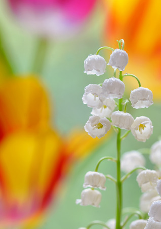 Lily of the valley (convallaria majalis) in garden Stock Photo