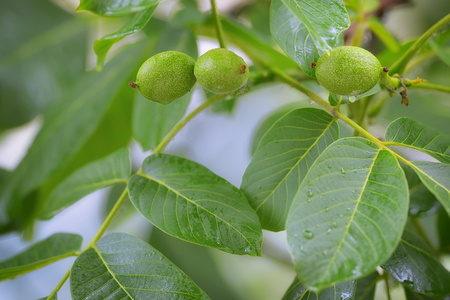 Unripe walnut and walnut tree (Juglans regia) in spring rain Stock Photo