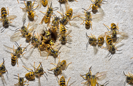 reproduction animal: Wasp Family and nest hole