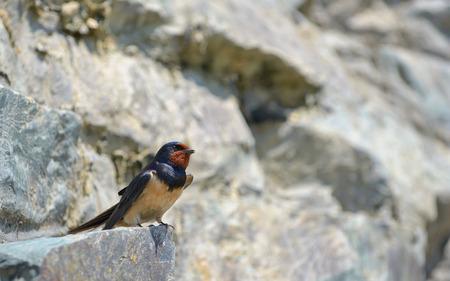 Swallow, Hirundo rustica on rock