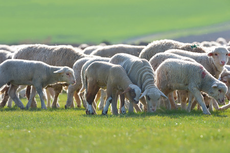 Sheep and lambs in spring field Stock Photo
