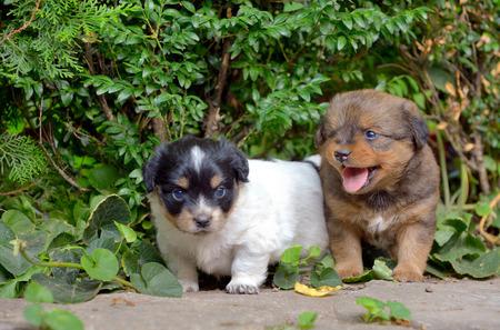 Chinese puppy dogs in garden