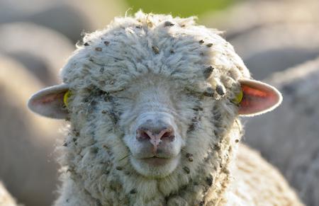 Sheep head  in spring field