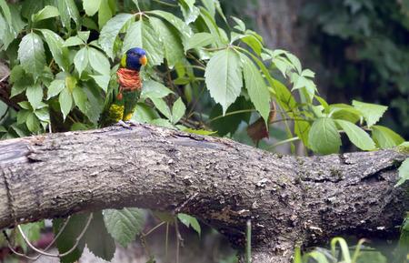 variegated: Amazon Parrot (Amazona aestiva) on tree brunch