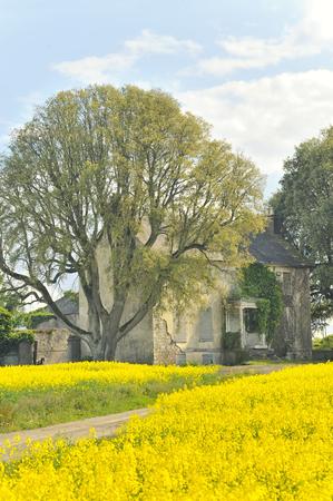 hadas: Rape field in countrryside in Ireland