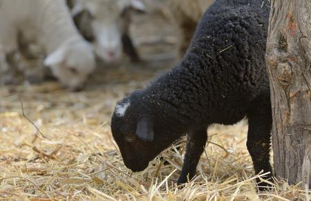 newborn lambs on the farm in spring time