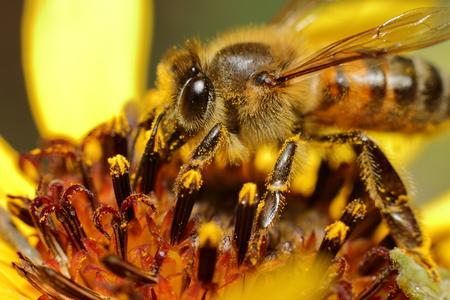 Bee enjoying pollen Stock Photo