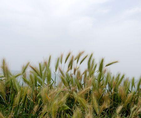 Grain growing in a farm field Stock Photo - 5044471