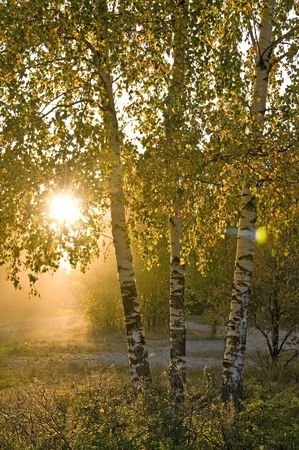 birch trees  Sunshine in the green forest