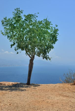 alone olive tree near the sea in turkey photo