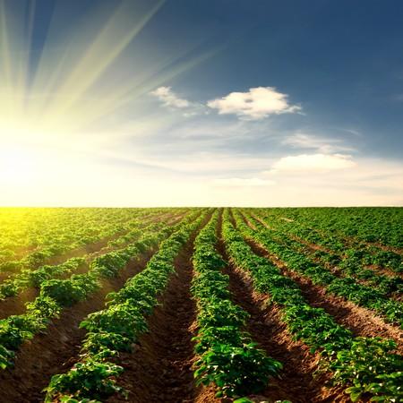 Kartoffelfeld auf einen Sonnenuntergang unter blauem Himmel Landschaft
