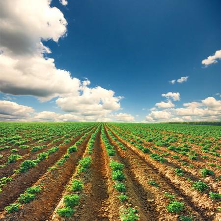 Kartoffelfeld auf einen Sonnenuntergang unter blauen Himmel Landschaft