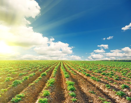 potato field on a sunset under blue sky landscape Stock Photo - 7533039
