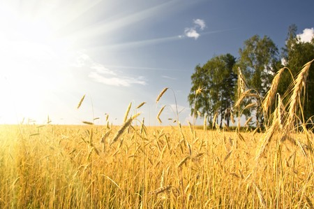 Summer view of ripe wheat under sun and blue sky Stock Photo