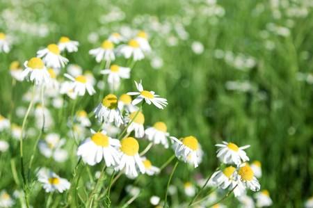 daisywheel: daisywheel much with green leaf on green background