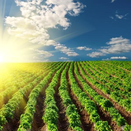Kartoffelfeld auf einen Sonnenuntergang unter blauen Himmel Landschaft Standard-Bild