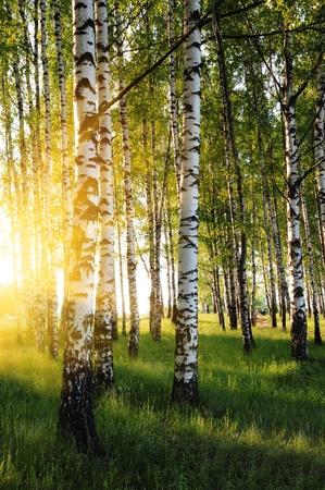 Birken in einem Wald im Sommer abends