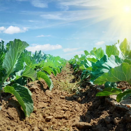 Cabbage field under cloudy blue Sky and sun