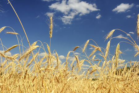 View of wheat ears field and sky Archivio Fotografico