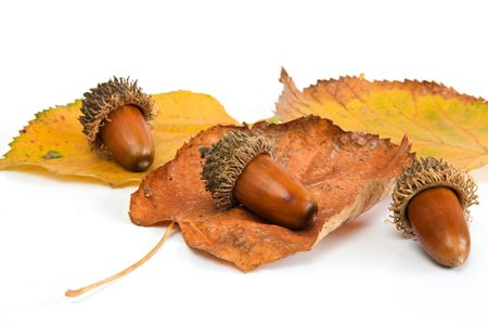 Acorns with leaves close Stock Photo - 4970320