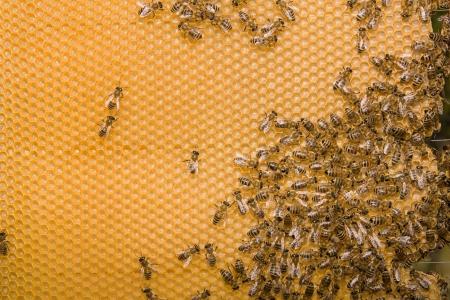 worker bees: Beekeeping