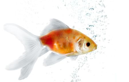 fish water: Gold fish