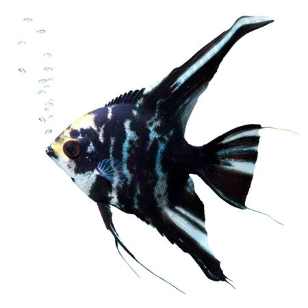 Angel fish with bubbles