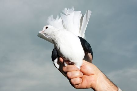 White dove Stock Photo - 5683212