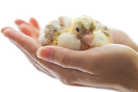 Newborn chicken in woman hands isolated on white photo