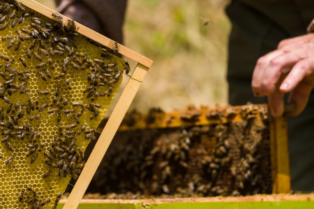 beekeeper: Beekeeper working on honeycomb with bees and honey around the beehive