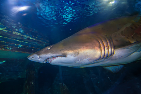 Tiger sand shark in turkuazoo aquarium in Istanbul. Shark with big jaws in ocean. photo