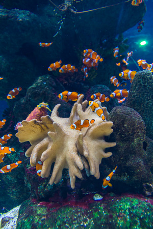 Clown fishes and zebrasoma yellow fish in aquarium photo