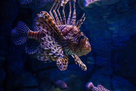 frontosa: Lionfish in aquarium Stock Photo